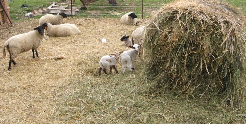 Lambs_2008_1