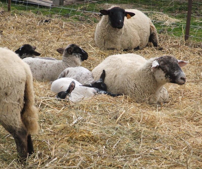 Lambs_2008_2